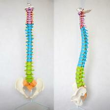 NEW Professional Life Size Human Spine Model, Flexible, Medical, Anatomical U