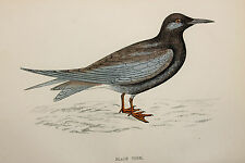 Black Tern, Antique Bird Print by Rev. F.O. Morris (ref:236)