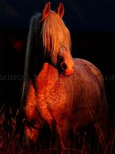 ARABIAN HORSE PONY SUNSET PHOTO ART PRINT POSTER PICTURE BMP2341A