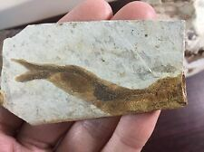 Lycoptera davidi - Yixian Formation, China, 125 million years, fossil fish
