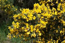 3 x Ulex europaeus - Common Gorse, Plant in 9cm Pot