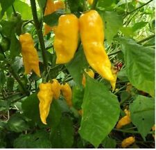 100 Yellow Ghost Pepper Bhut Jolokia seeds Chili Heirloom RARE EXTREMELY HOT!
