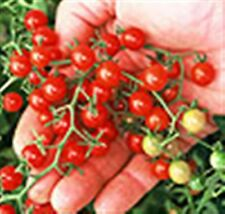 SWEET PEA RED CURRANT CHERRY TOMATO HUNDREDS OF FRUIT 20 PROFESSIONAL seeds
