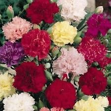 Carnation- Chabaud Mix- 50 Seeds - 50 % off sale
