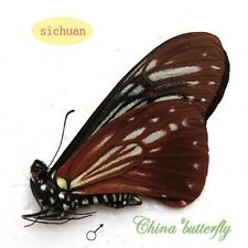 unmounted butterfly Chilasa agestor restricta RARE A1