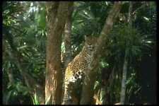 134086 Jaguar Climbing A Tree A4 Photo Print