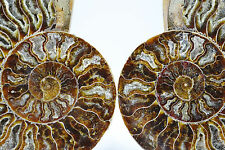 "Fossil Pair Ammonite Great Color Crystal Cavities 155mm XXLRG 6.1"" 155mm e2758x"