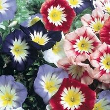 Flower seed - Dwarf Morning Glory Ensign Mix - Convolvulus Tricolor