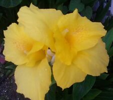 Yellow Canna Lily Flower Bulb 12 Healthy Tubers Beautiful Perennial