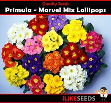 Primula Marvel Mix Lollipops 50 Seeds Minimum Colourful Garden Flower Plant.