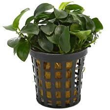 "6 x 5 cm Pots of Anubias barteri var. nana ""Bonsai"""