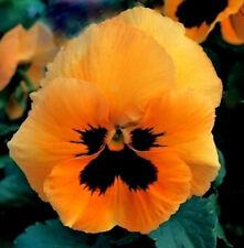 Orange Pansy Seeds, Swiss Giant Pansies, Orange Viola Seeds, Heirloom Seed, 50ct