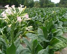 Graines de tabac-Nicotiana tabacum - 500 + seeds