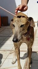 Can you please help Majestic the Galgo -Spanish Greyhound at 112 Carlota Galgos?