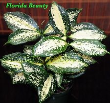 "Dracaena surculosa 'Florida Beauty' Easy Tropical House Plant Shipped in 3"" Pot"