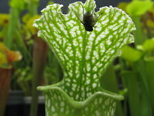 Carnivorous Plant - Sarracenia leucophylla green and white - 20 seeds