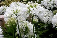 Agapanthus – 'White' (agapanthus africanus) 15 Reliable Viable Seeds