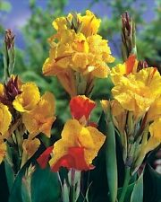 Bulb/Tuber/Root Canna Lily 'Cleopatra' Quality W.C.Prins Summer Flowering