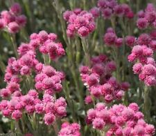 "100 PINK PUSSYTOES SEEDS - Antennaria  ""Rubra"" Perennial Ground Cover Plant"