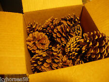 "50 Small Pines Cones 1"" to 3"" Tall  For Crafts or Scented"