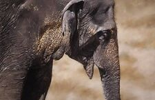 Old Elephant by Alan Hunt/  Mounted Print- FREE POSTAGE