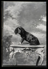 Photo grande plaque de verre un chien sur une table vers 1900 little dog photo