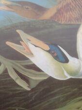 Common Eider Duck Audubon Print Picture Poster Art