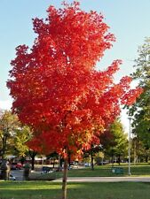 20 BONFIRE SUGAR MAPLE SEEDS - Acer saccharum 'Bonfire'