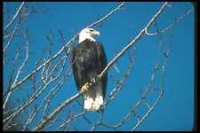 135081 Bald Eagle Sitting In Tree A4 Photo Print