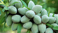 Fruit seeds - Imported Almond Plant Seeds - Home garden best quality - 5 Seeds