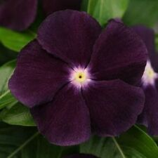 25 Vinca Seeds Vinca Jams & Jellies Blackberry