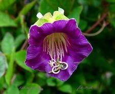 RARE - CUP AND SAUCER VINE PURPLE  - Cobaea scandens - 14 seeds - flower