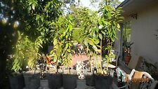 "SOURSOP Delicious FRUIT TREE Annona muricata Small Plant tree 40"" +"