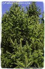 Picea abies 'Norway Spruce' [Prov: Czech Republic] 45+ SEEDS XMASS TREE