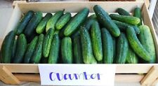 35 MARKETMORE 76 CUCUMBER 2017 (all non-gmo heirloom vegetable seeds!)
