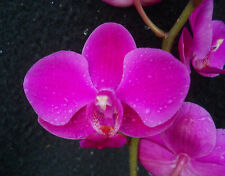 Phalaenopsis Queen Beer, orchid plant