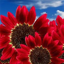 15pcs Rare RED SUN SUNFLOWER Helianthus Annuus Multiple Blooms & Branches Seeds