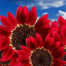 15x Samen Rot Sonnenblume Abendrot Abendsonnen  HELIANTHUS ANNUUS-Red Sun Samen