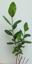 Pineapple Guava ~ Acca Feijoa Sellowiana ~ Live Starter Plant