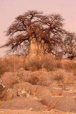 Baobab Tree in Botswana Journal : 150 Page Lined Notebook/diary by Cool Image...