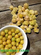 GROUND CHERRY, 100 Non-GMO Seeds. Sweet Husk Tomato. Premium USA Heirloom.