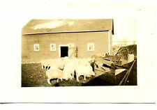 Sheep Feed in Farm Barn Yard-Group of Animals-RPPC-Vintage Real Photo Postcard