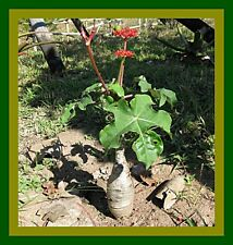 *UNCLE CHAN* 10 SEED JATROPHA PODAGRICA VERY RARE BUDDHA BELLY SUCCULENT PLANT