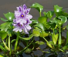 1  LIVE Violet Purple Water Hyacinth Floating Koi Pond Plant water filtering