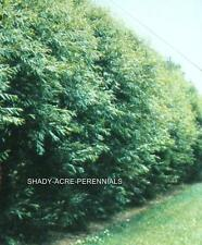 12 HYBRID WILLOW TREES Austree grows 12' 1st season. Thick hedge privacy fence