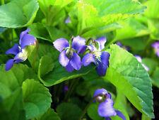10 Wild Violet starts, perennial ground cover/Wild flower