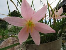 Rain Lily, Zephyranthes Baby Girl , 4 bulbs, NEW, habranthus