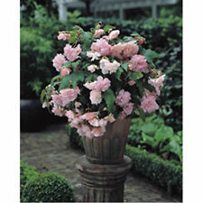 New Pack 3 Bulbs/Tubers Begonia Cascade Pink Flowering W.P.C. Prins Bulbs