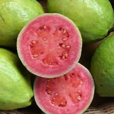 APPLE GUAVA -RED - PSIDIUM GUAJAVA - 10 SEEDS FRUIT