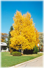 Paper Birch, Betula papyrifera, Fall Colors, Tree Seeds (10 seeds)  T-024